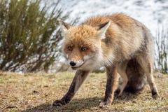 Röd räv (Vulpesvulpes) som fångas i handlingen Arkivfoton