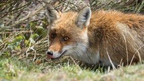 Röd räv (Vulpesvulpes) som slickar dess näsa Fotografering för Bildbyråer