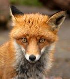 Röd räv, VulpesVulpes, UK Fotografering för Bildbyråer
