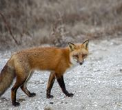 Röd räv, Vulpesvulpes, ut för hans dagliga jaga tur arkivfoto