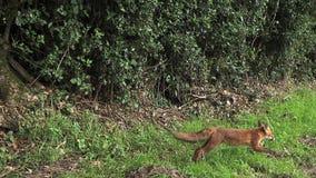 Röd räv, vulpesvulpes, vuxen spring på gräs, Normandie i Frankrike
