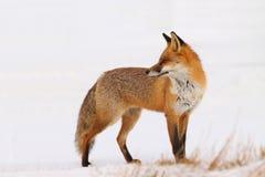Röd räv (Vulpesvulpesen) fotografering för bildbyråer