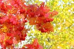 röd rönn Royaltyfria Bilder