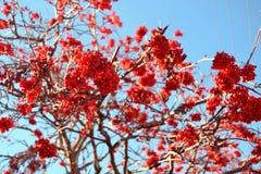 röd rönn Royaltyfri Foto