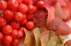 Röd rönn för bakgrund med röda sidor i höst fotografering för bildbyråer
