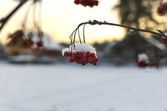 Röd rönn under snön på solnedgången royaltyfria foton