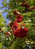 röd rönnbär Royaltyfri Foto