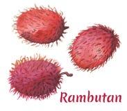 Röd rambutan på vit bakgrund Vattenfärgmålning för tropisk frukt vektor illustrationer