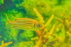 Röd randig ekorrefisk (den Sargocentron rubrumen) också som är bekant som beträffande Royaltyfria Bilder