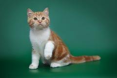 Röd randig kattunge på en grön bakgrund Skotsk bicolor katt Arkivbild