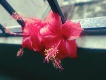 Röd regnig dag för hibiskusblommagrupp royaltyfria bilder
