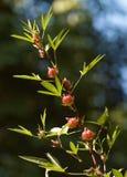 röd resellesorrel Royaltyfria Foton