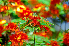 röd rhododendron Arkivbilder