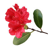 Röd rhododendron Arkivfoton