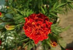 Röd ringblommablomma i utomhus- royaltyfria foton