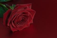 Röd ro Arkivfoto