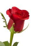 Röd ro Royaltyfri Bild