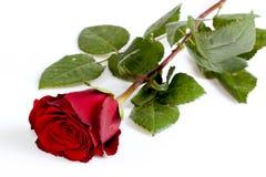 Röd ro Royaltyfria Foton