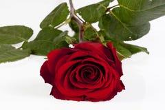 Röd ro Fotografering för Bildbyråer