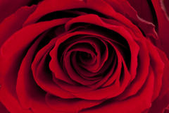 Röd ro Arkivbilder