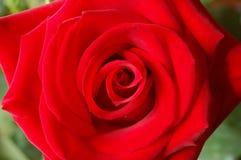 Röd ro royaltyfri fotografi