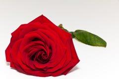 röd ro för härlig singel på vitbakgrund Royaltyfri Foto