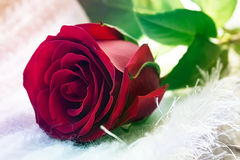 Röd ro för singel Fotografering för Bildbyråer