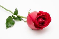 Röd ro för singel på vitbakgrund Royaltyfria Foton