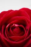 Röd ro för singel på vitbakgrund Royaltyfri Fotografi