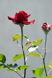 Röd ro i regna Arkivfoto