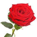 Röd ro på vit Royaltyfri Bild