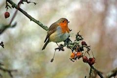 röd robin Royaltyfri Foto