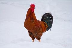 Röd rooster Royaltyfria Bilder