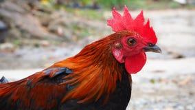 röd rooster Arkivbild