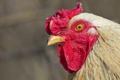 röd rooster Arkivfoton
