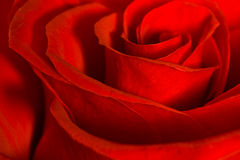 Röd ros Royaltyfri Fotografi