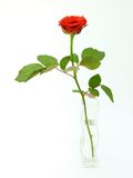 Röd ros Fotografering för Bildbyråer