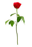 Röd ros Royaltyfri Bild