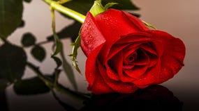Röd ros Arkivfoto