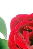 Röd ros Royaltyfri Foto