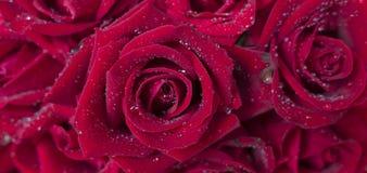 Röd ros 13 Arkivbild