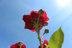 Röd ros av naturlig blå himmel Arkivbilder