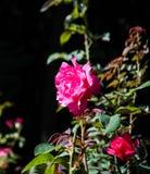 Röd ros, buske royaltyfria foton