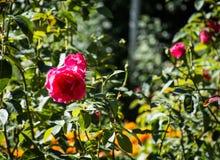 Röd ros, buske arkivfoto