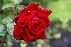 Röd ros efter ett regn Royaltyfria Bilder