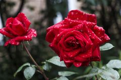 Röd ros efter ett regn Royaltyfria Foton