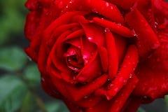 Röd ros efter ett regn Royaltyfri Foto