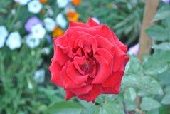 Röd ros efter morgonregn Arkivfoto