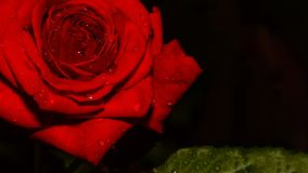 Röd ros efter obetydligt regn Royaltyfri Fotografi