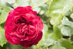 Röd ros efter regn i trädgård arkivfoto